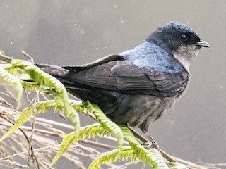 - Brown-bellied Swallow