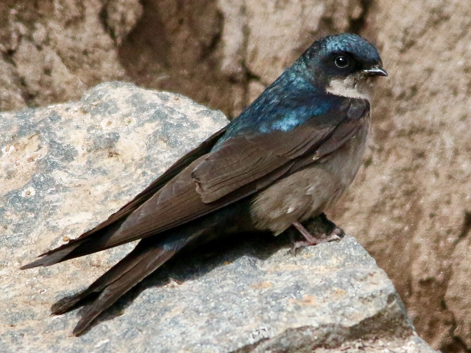 Brown-bellied Swallow - Gustino Lanese