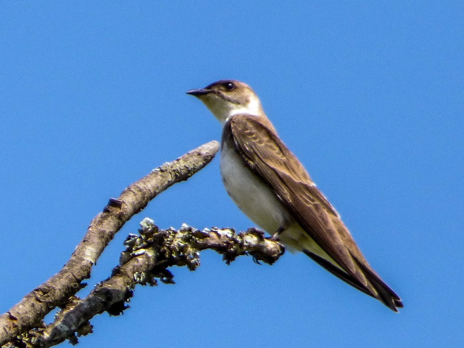 Brown-chested Martin - Paula Parola