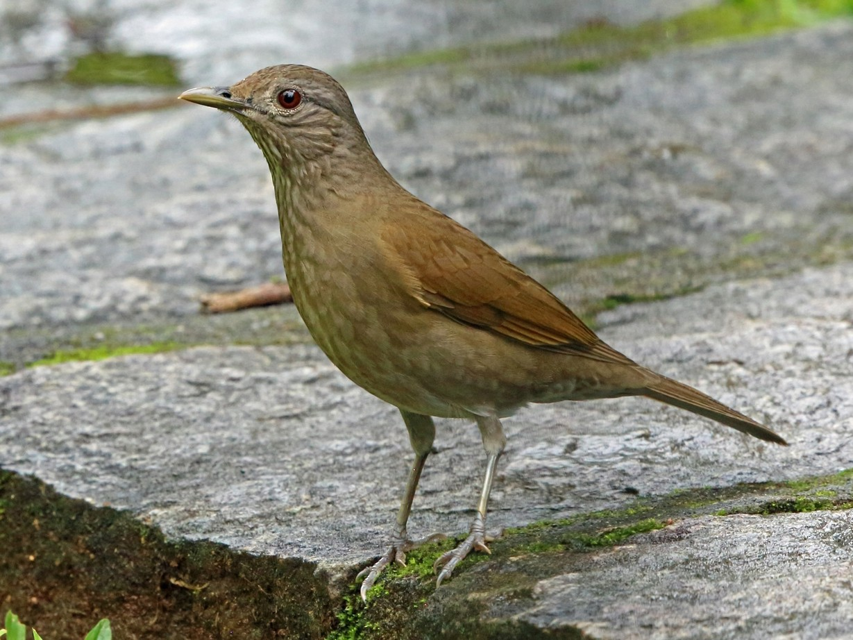 Pale-breasted Thrush - Nigel Voaden