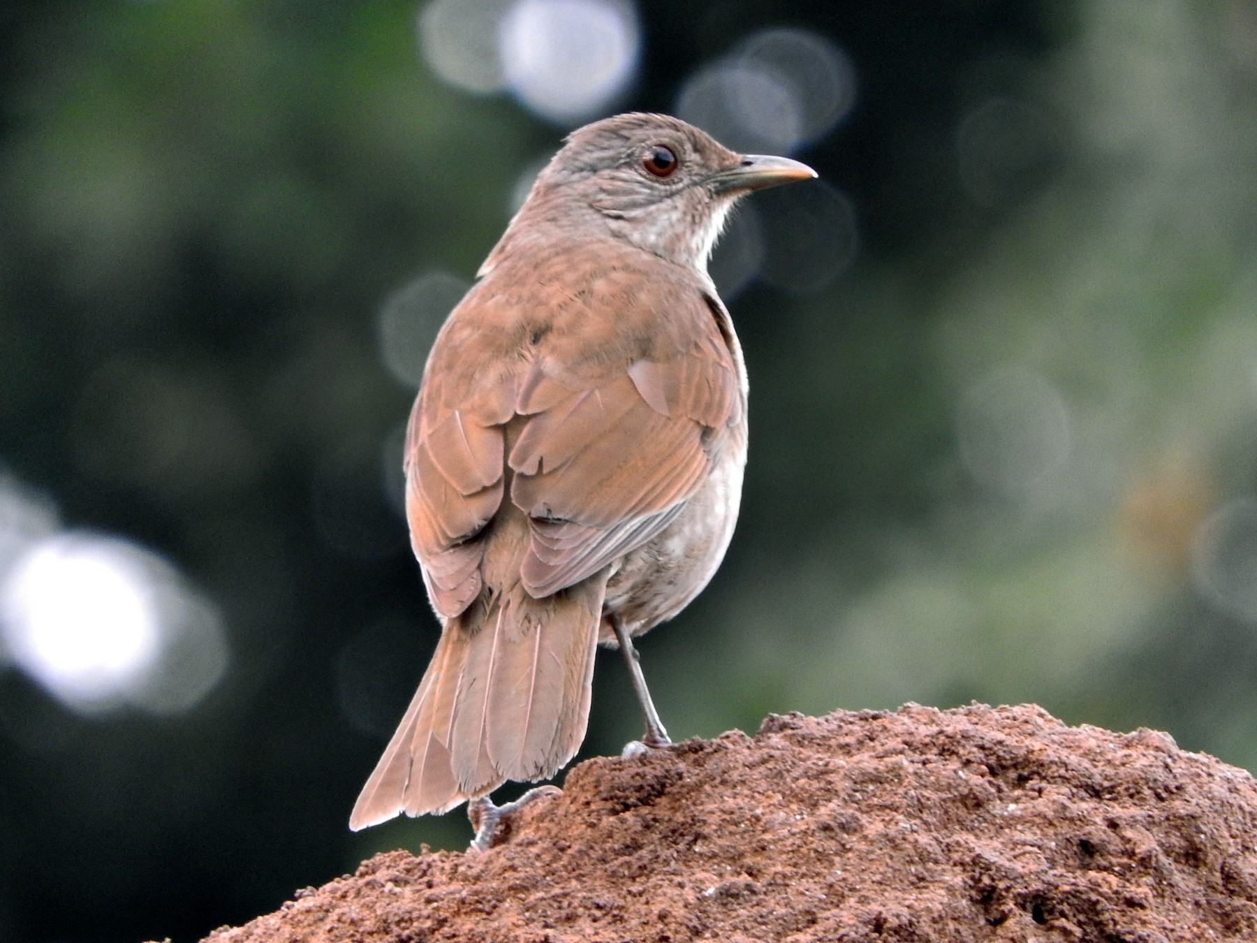 Pale-breasted Thrush - Juliano Gomes