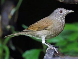 - Pale-breasted Thrush
