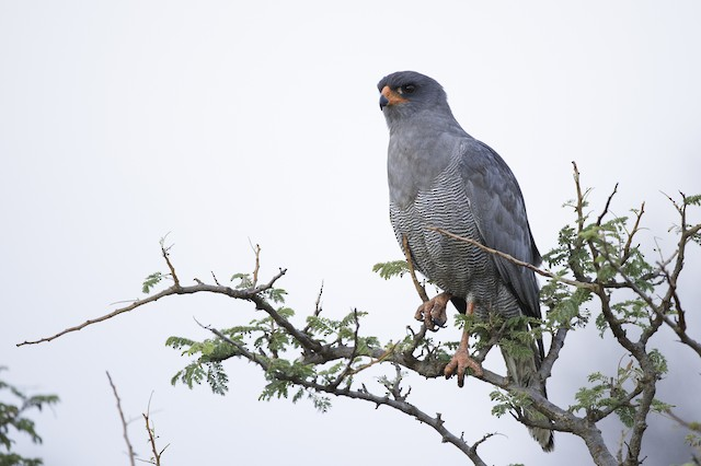 Dark Chanting-Goshawk