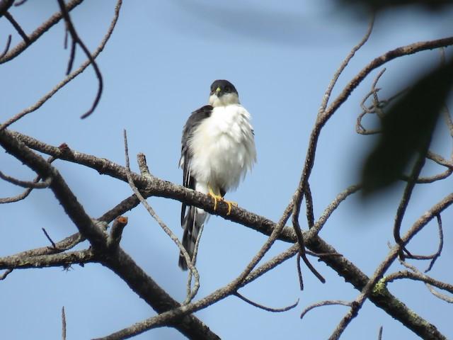 Sharp-shinned Hawk (White-breasted)