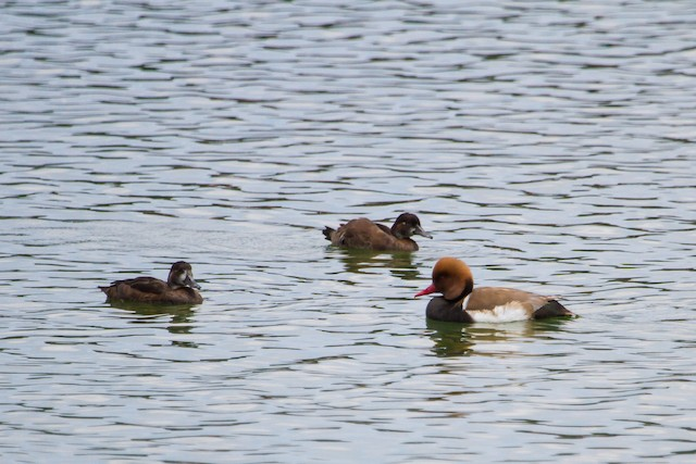 Red-crested Pochard