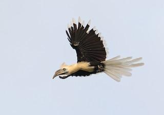 - White-crowned Hornbill
