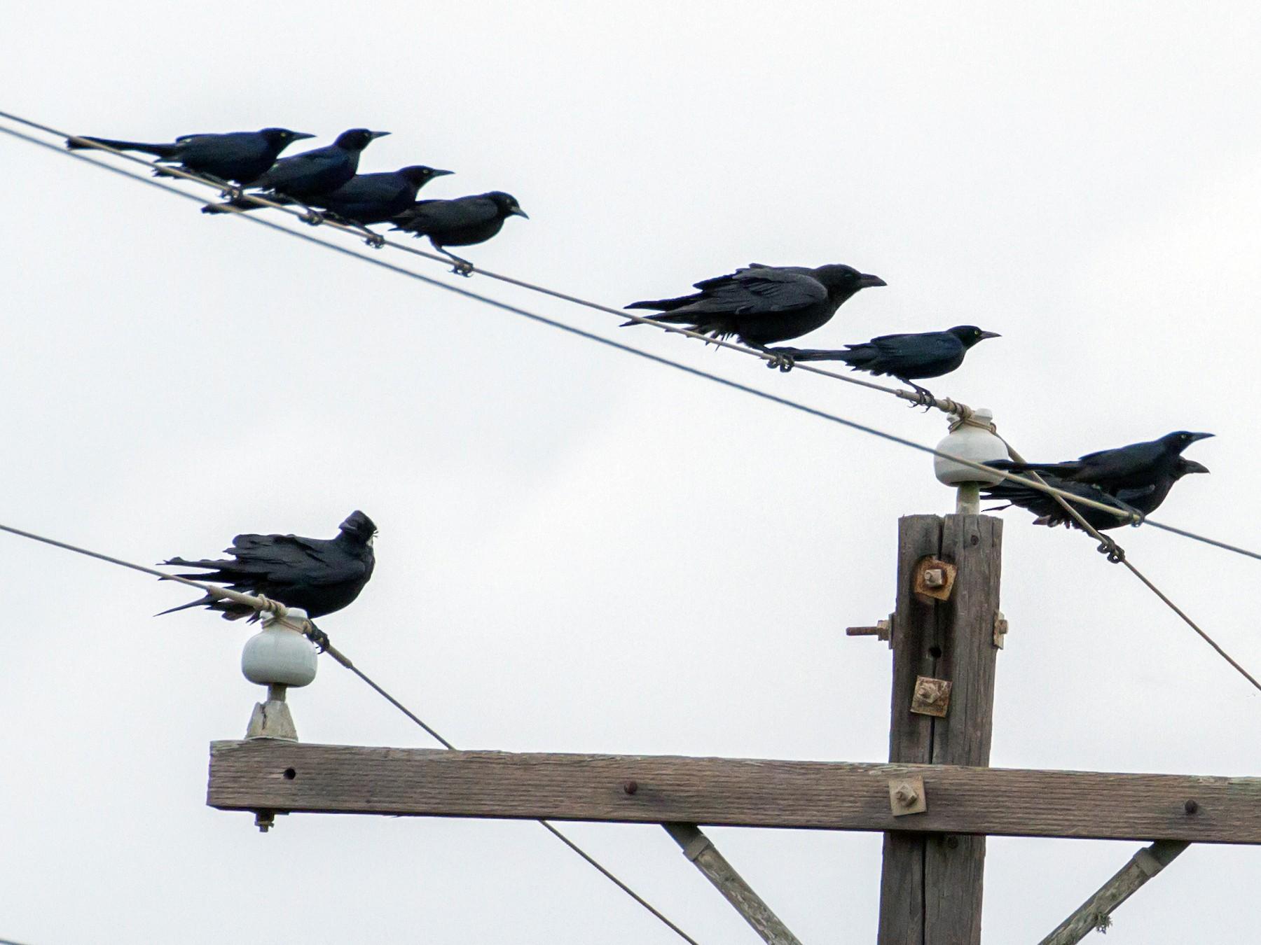 Chihuahuan Raven - Cullen Hanks