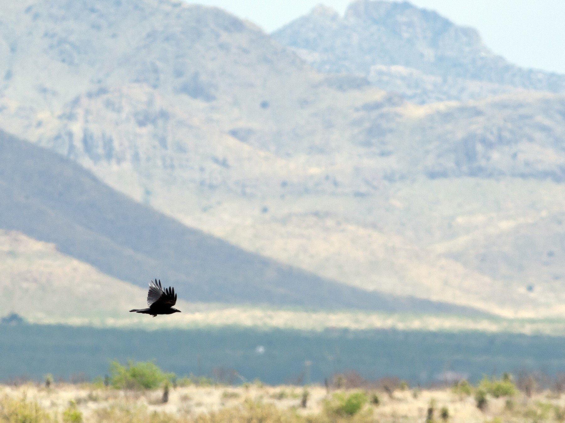 Chihuahuan Raven - Jessie Barry