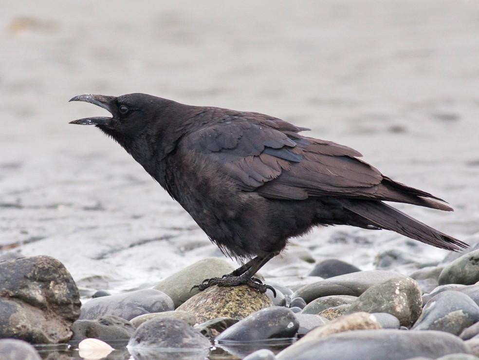 Northwestern Crow - Tom Johnson