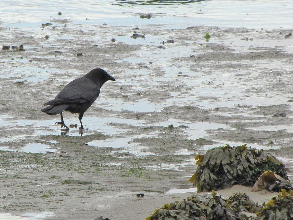 Northwestern Crow - Olli Haukkovaara