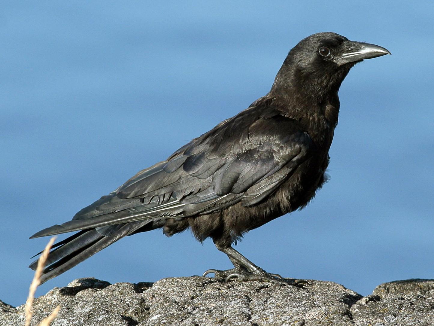 Northwestern Crow - Phil Green