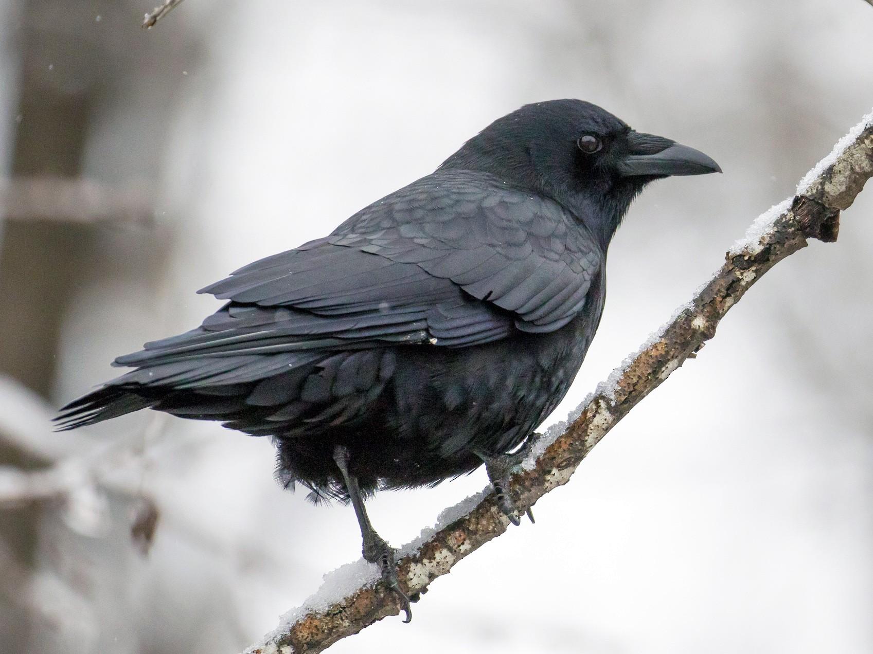Northwestern Crow - John Reynolds