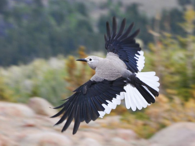 Clark's Nutcracker - Chris Butler