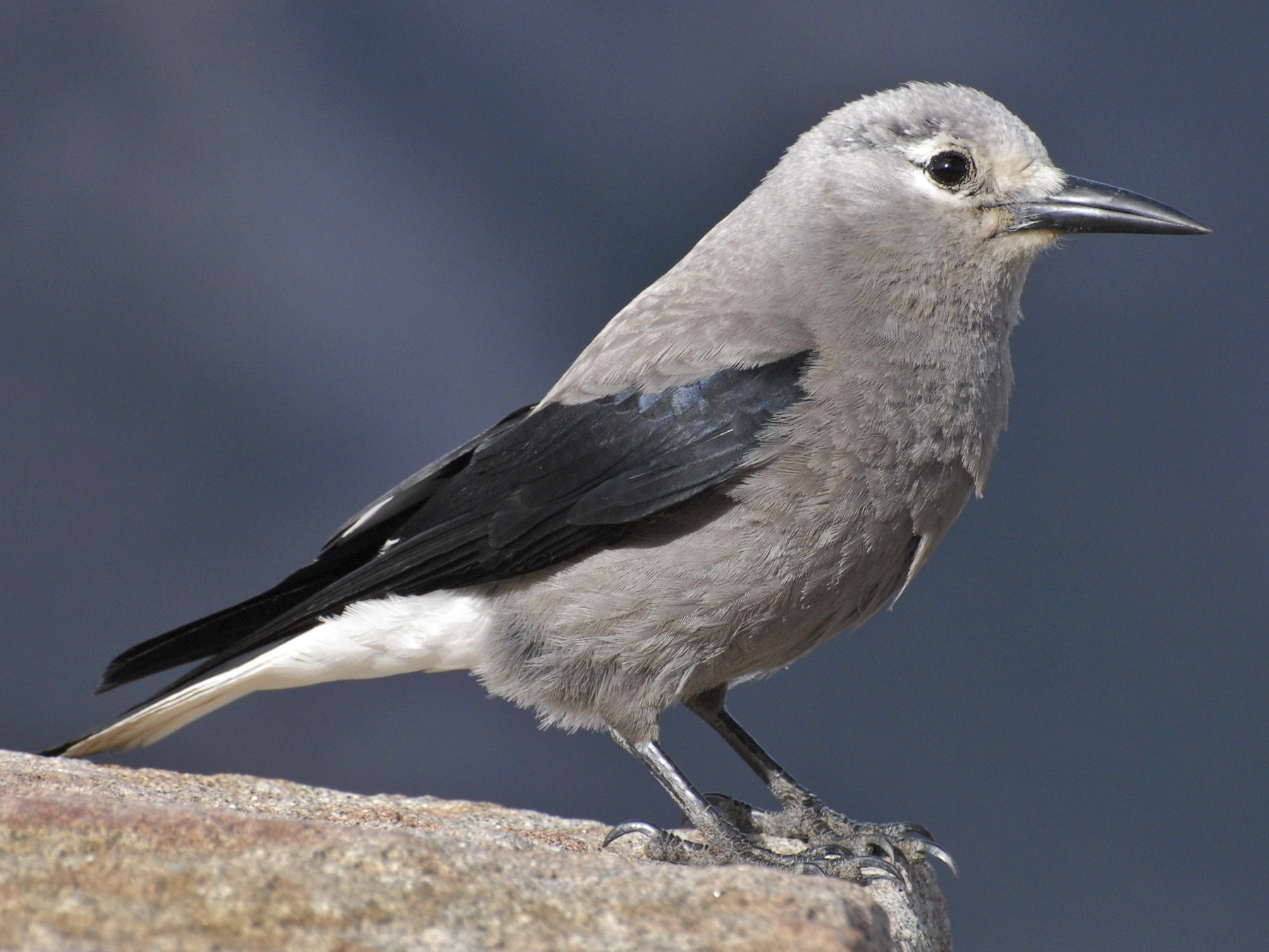 Clark's Nutcracker - David Hollie