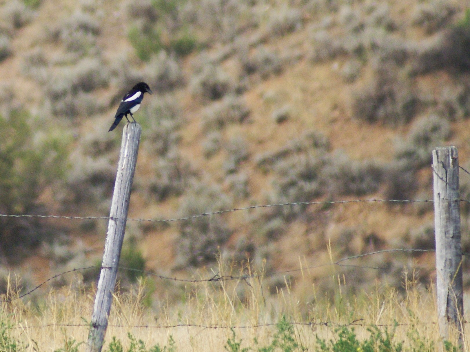 Black-billed Magpie - James Bozeman