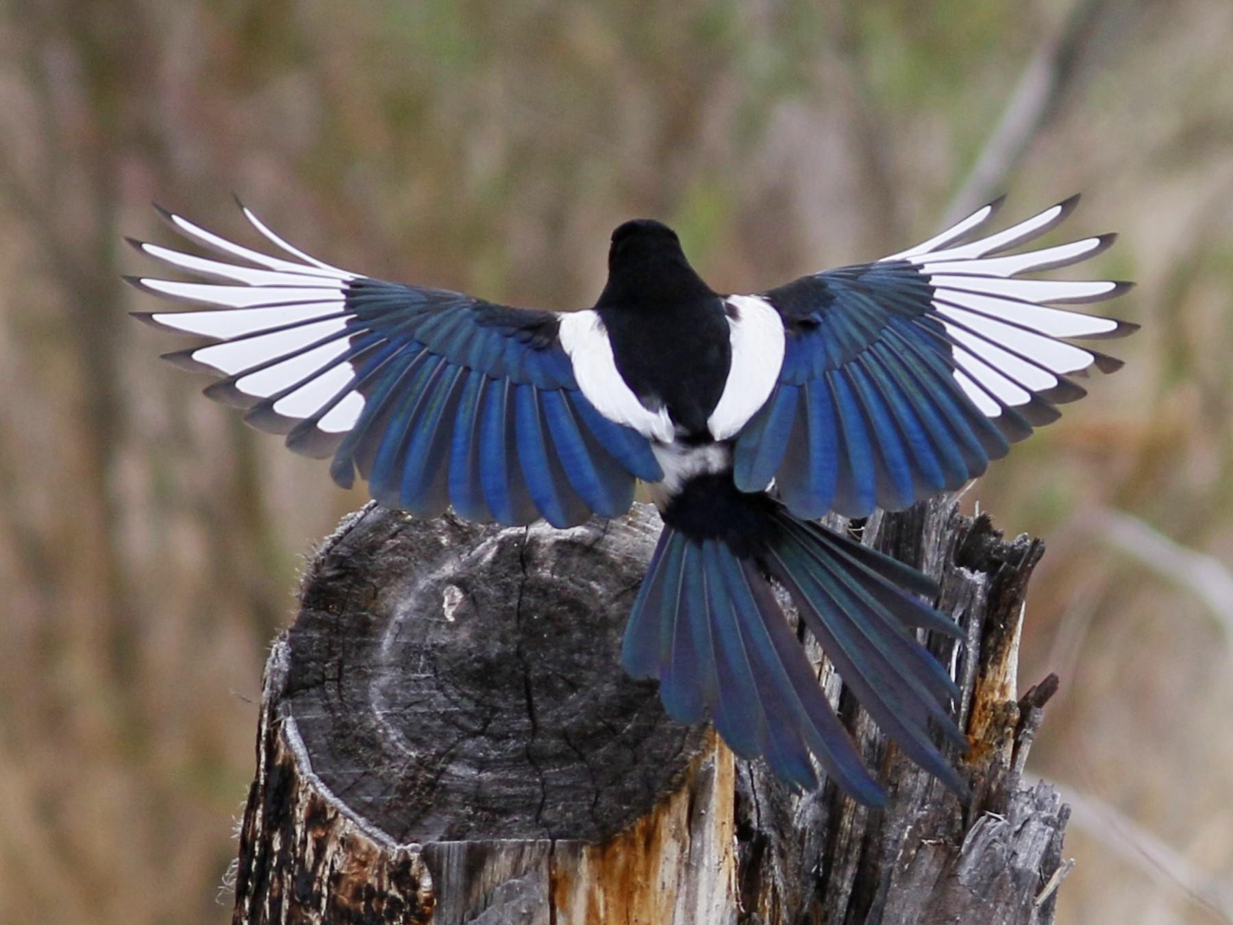 Black-billed Magpie - John Sullivan
