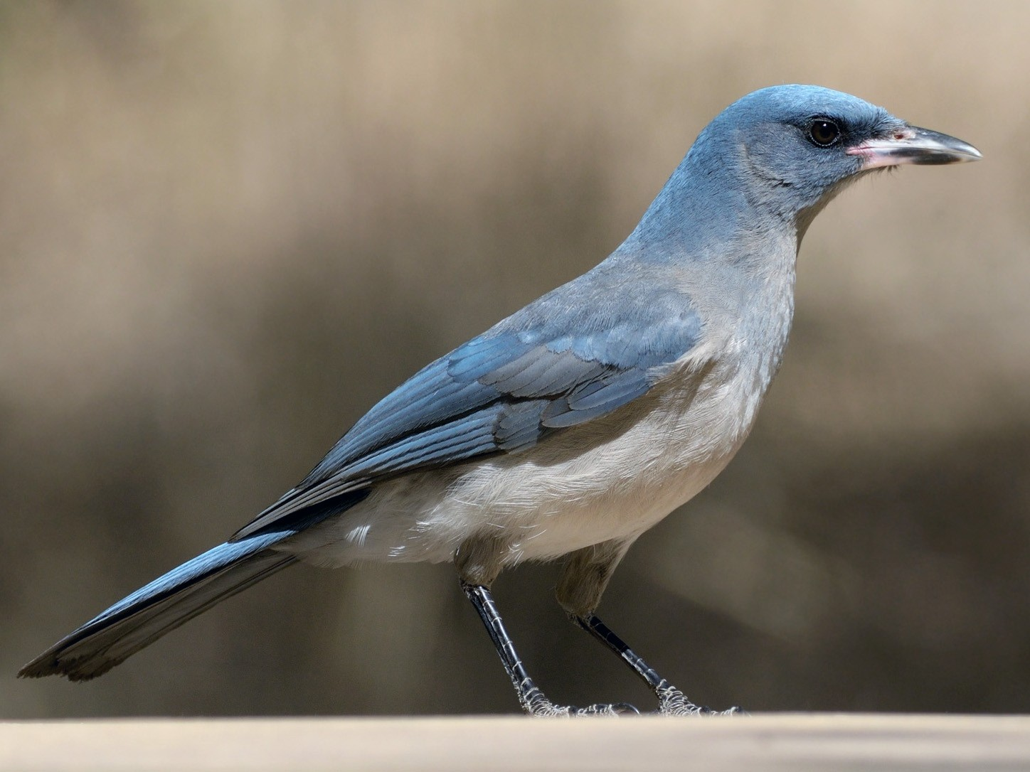 Mexican Jay - Heather Pickard