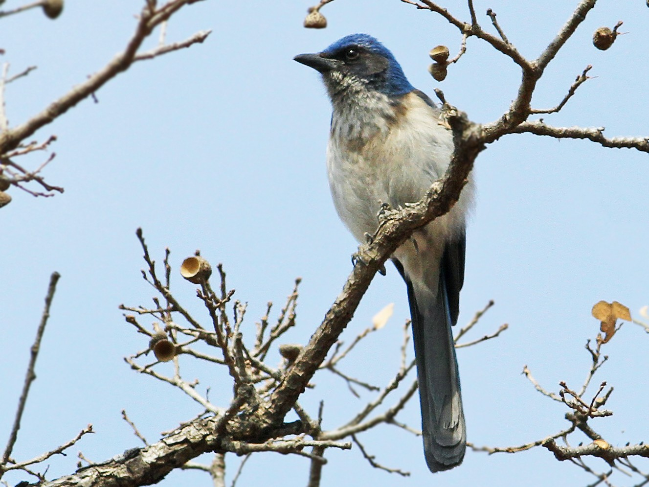 Woodhouse's Scrub-Jay - Andrew Spencer