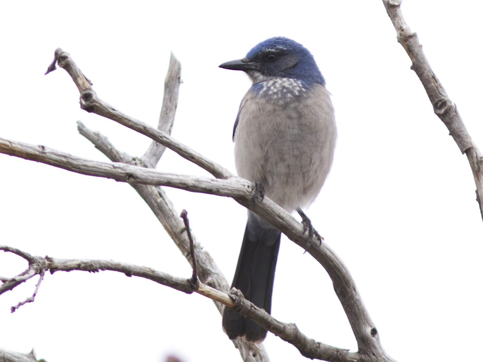 Woodhouse's Scrub-Jay - Doug Hitchcox