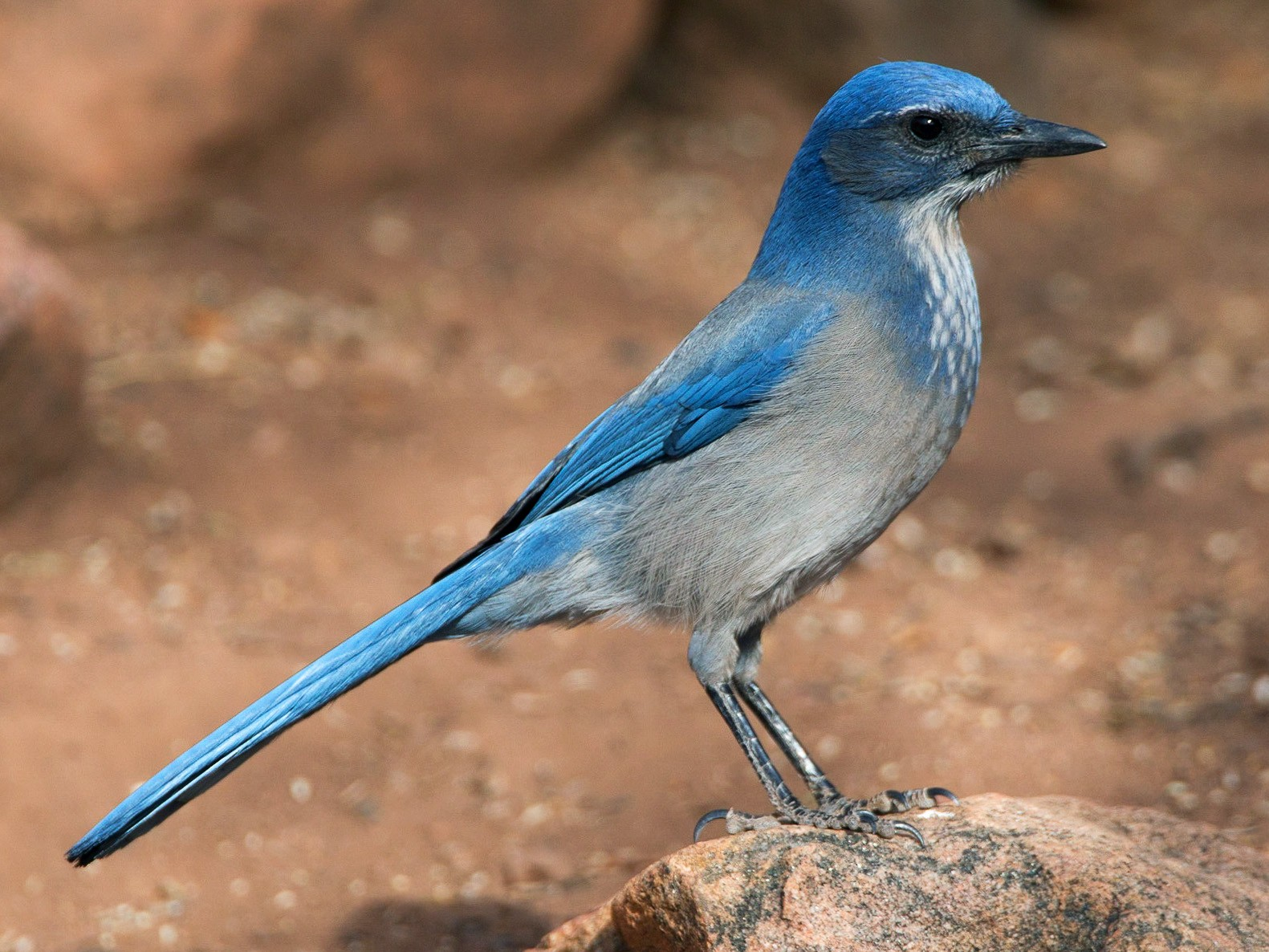 Woodhouse's Scrub-Jay - Chris Wood