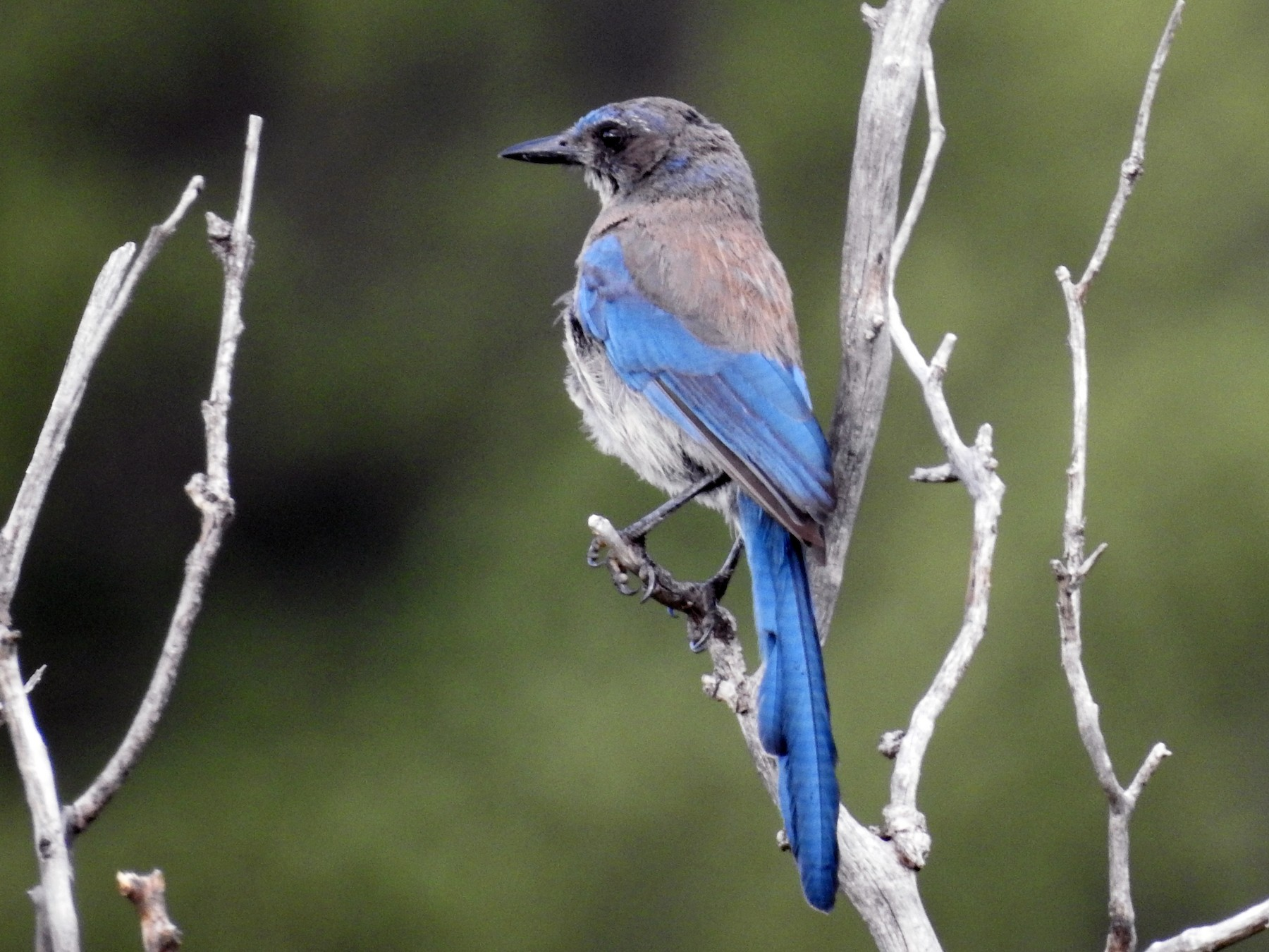 Woodhouse's Scrub-Jay - Alan Ketcham