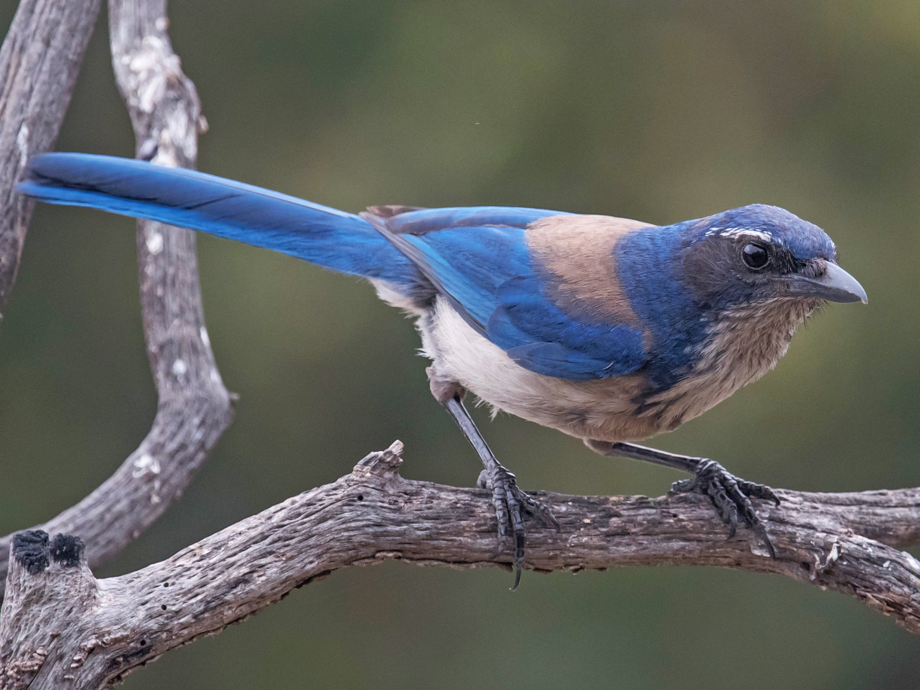 California Scrub-Jay - Nancy Christensen