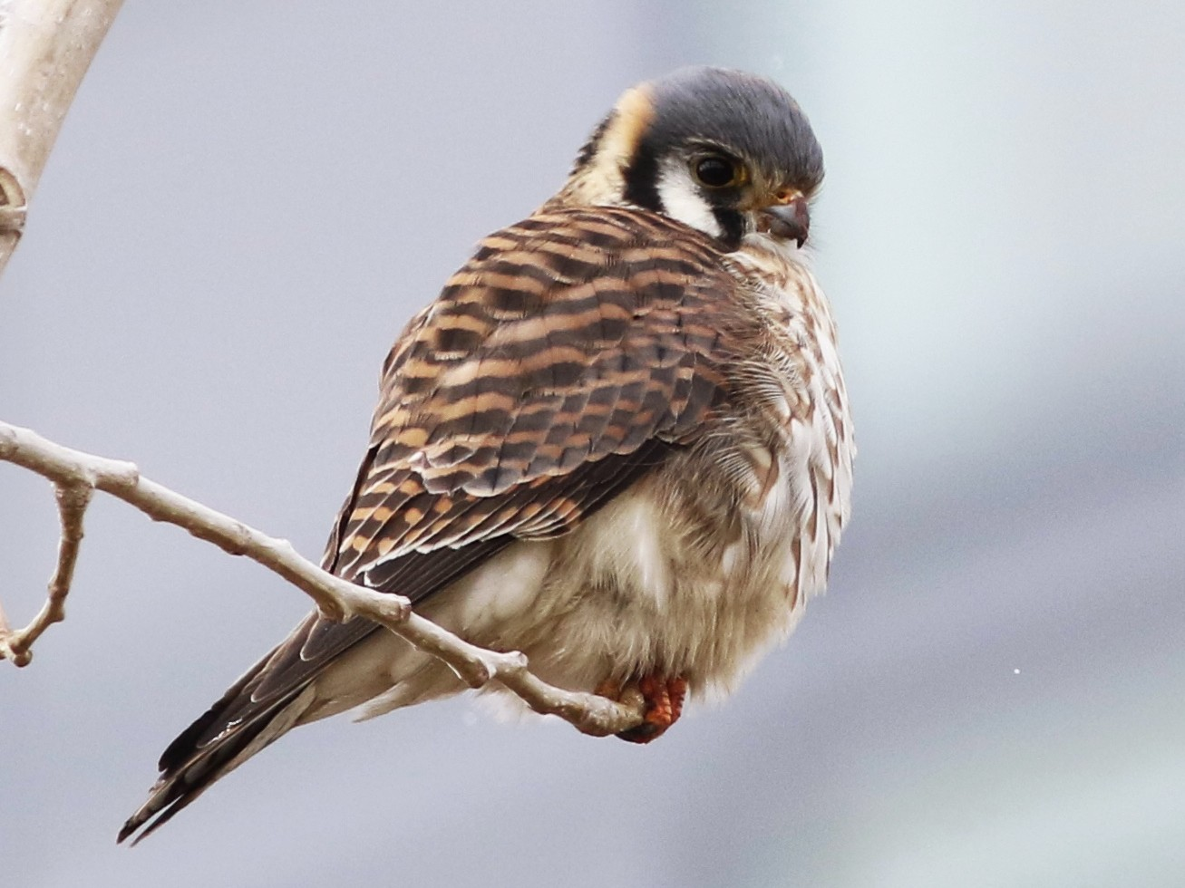 American Kestrel - Howard Shapiro