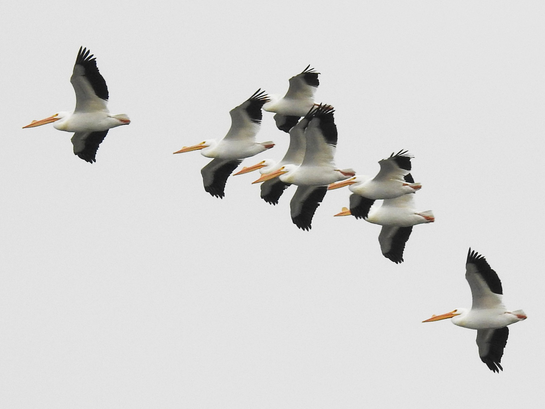 American White Pelican - Jason Newton