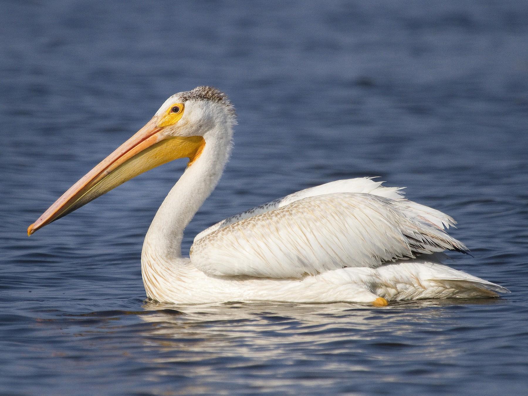 American White Pelican - Gordon Dimmig