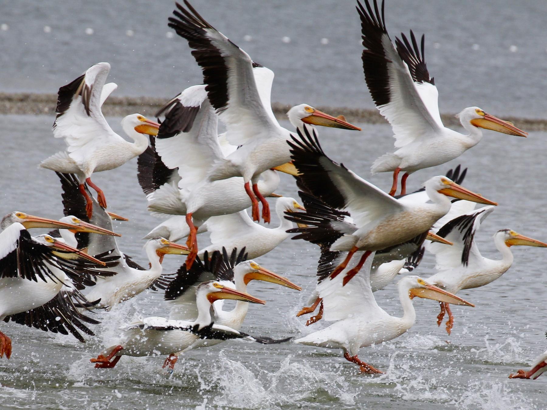 American White Pelican - maxine reid