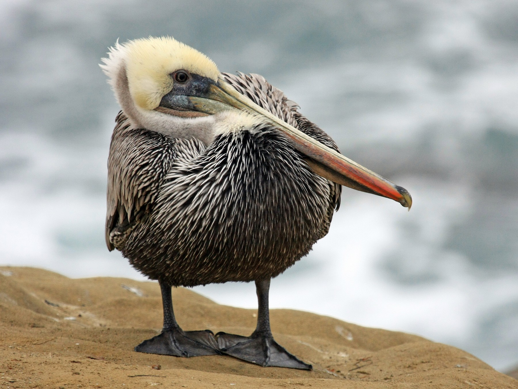 Brown Pelican - Tim Lenz