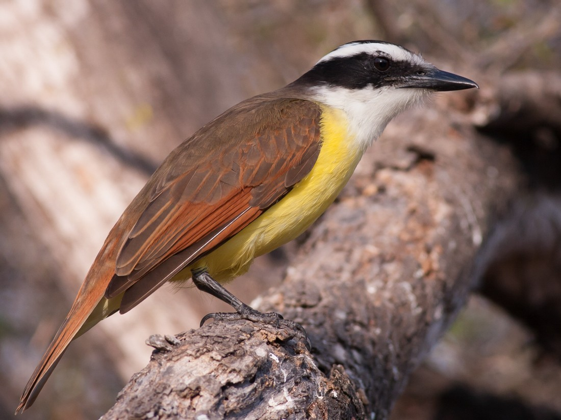 Great Kiskadee - Tom Johnson