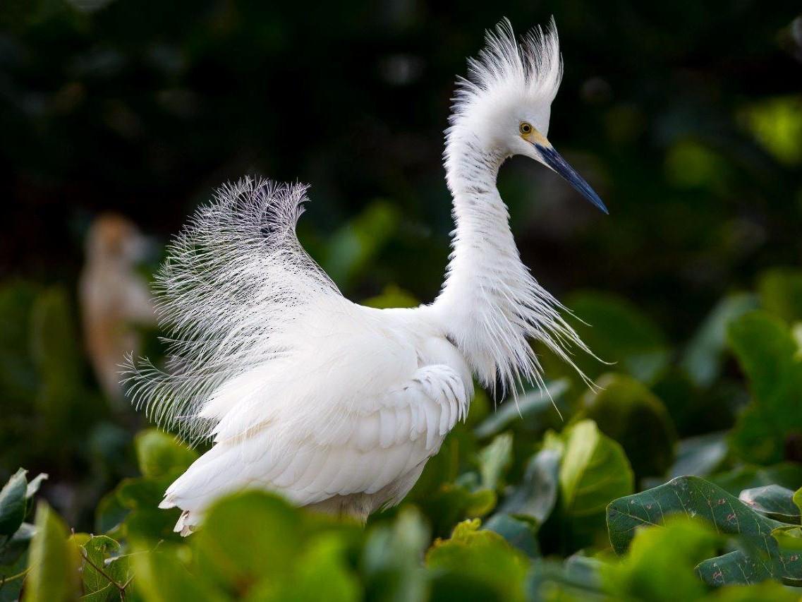 Snowy Egret - Frantz Delcroix (Duzont)