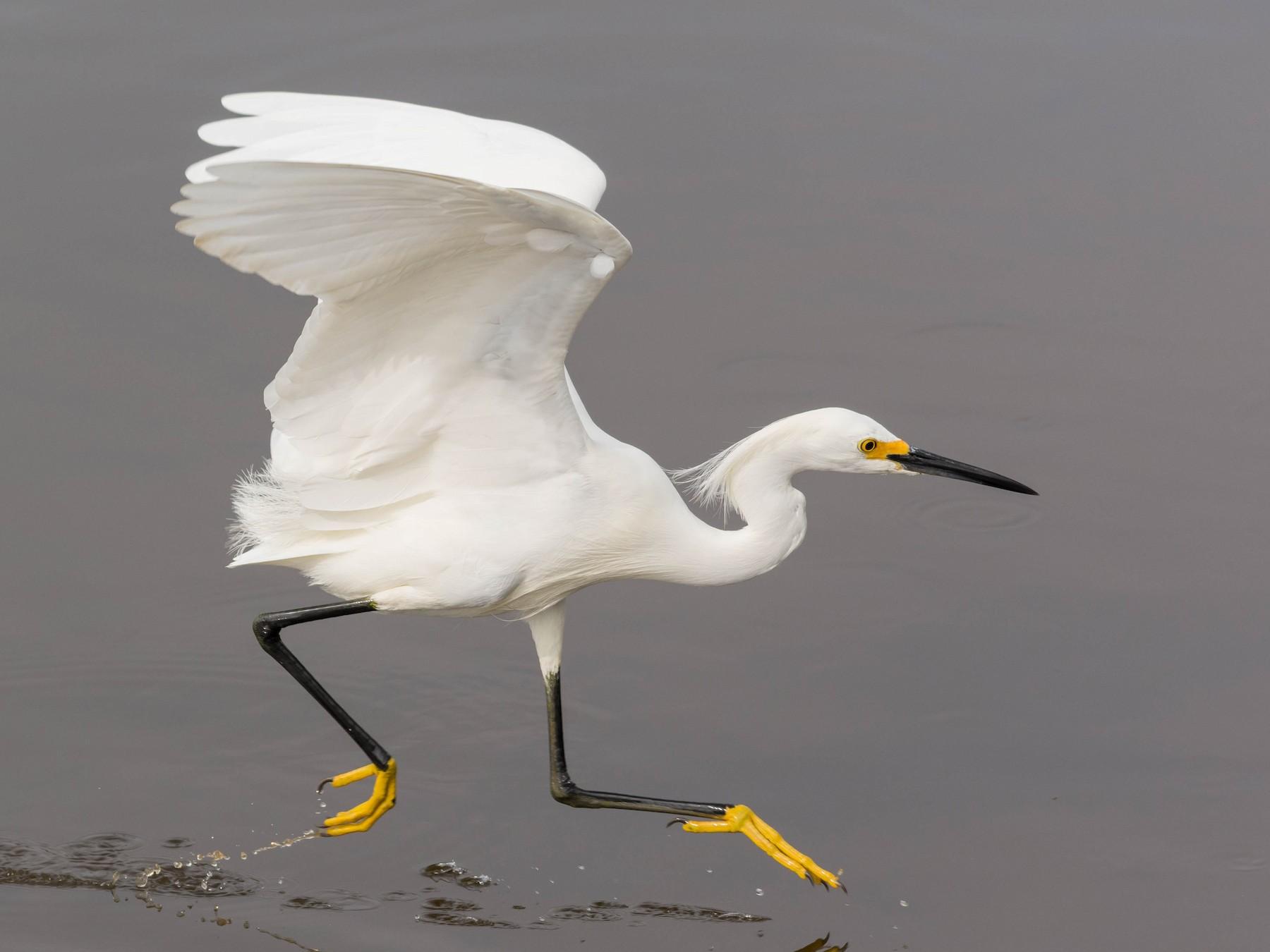 Snowy Egret - John Sutton