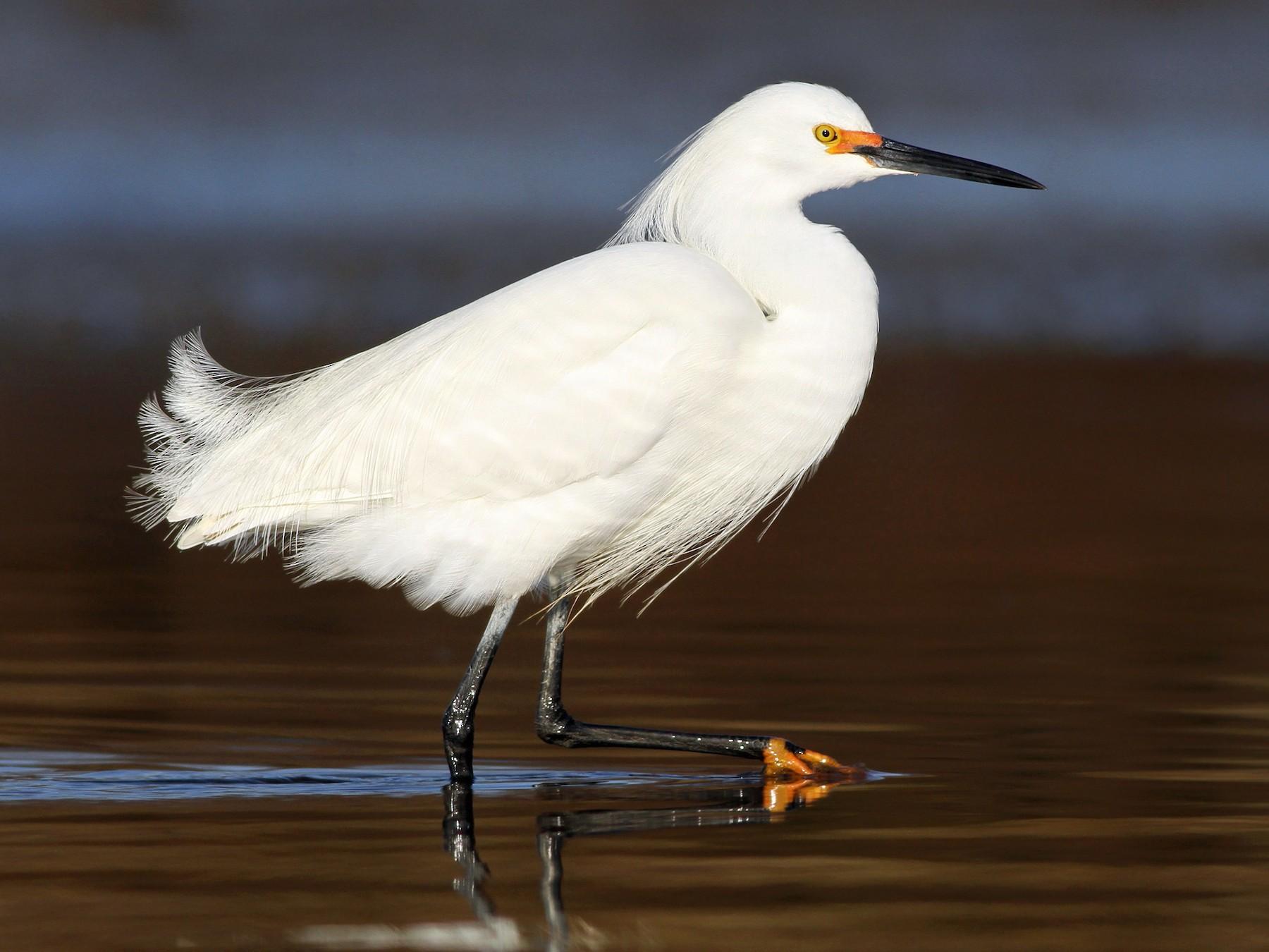 Snowy Egret - Evan Lipton