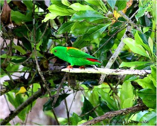 - Sula Hanging-Parrot