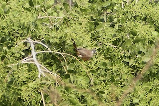 - Red-backed Mousebird