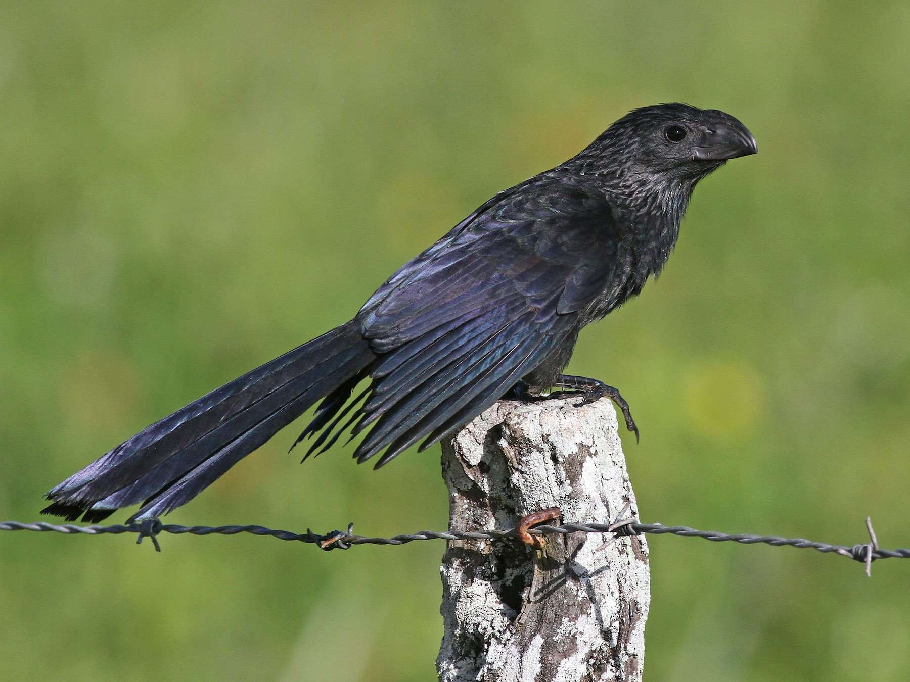 Groove-billed Ani - Michael McCloy