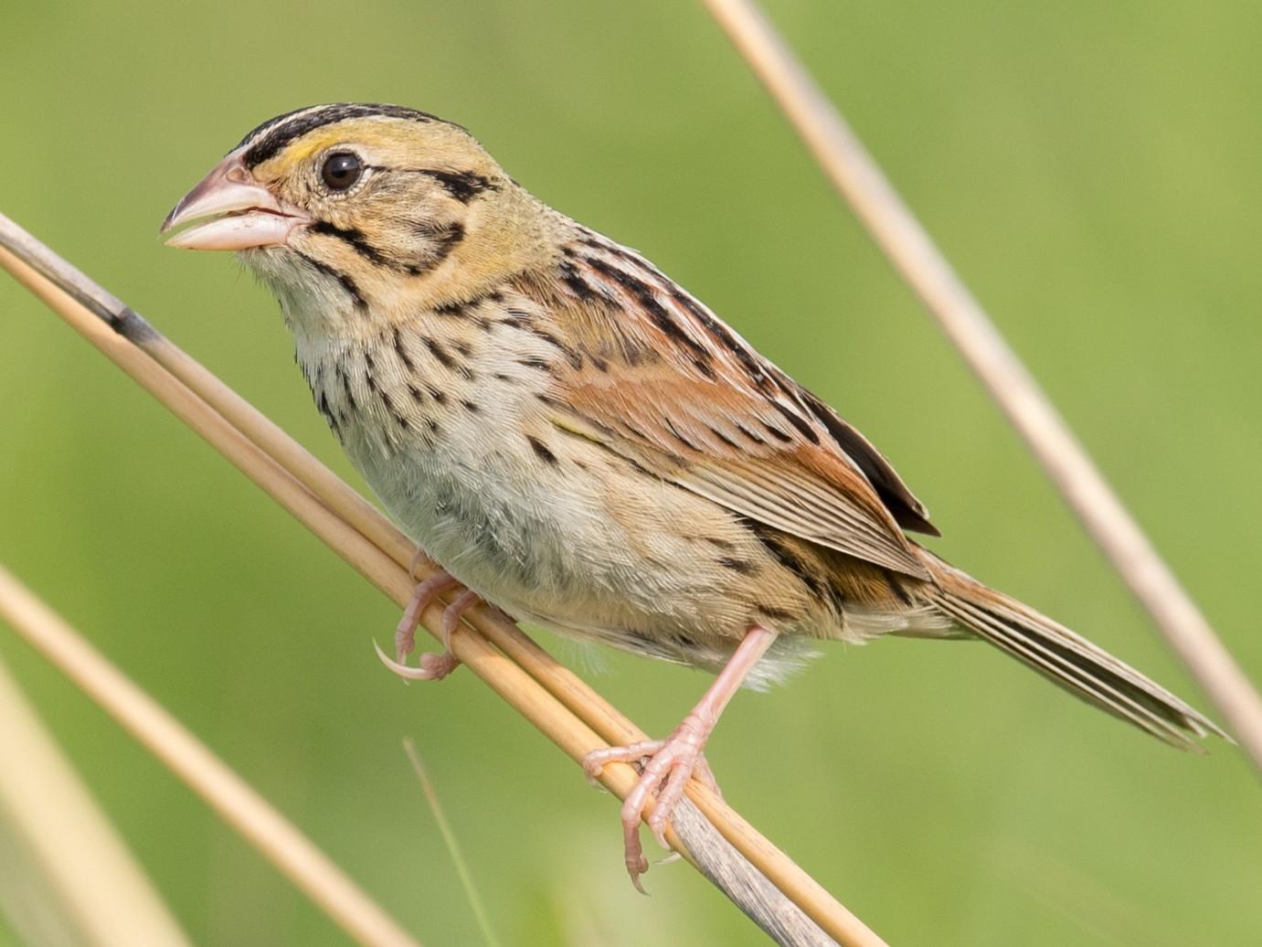 Henslow's Sparrow - Adam Brandemihl