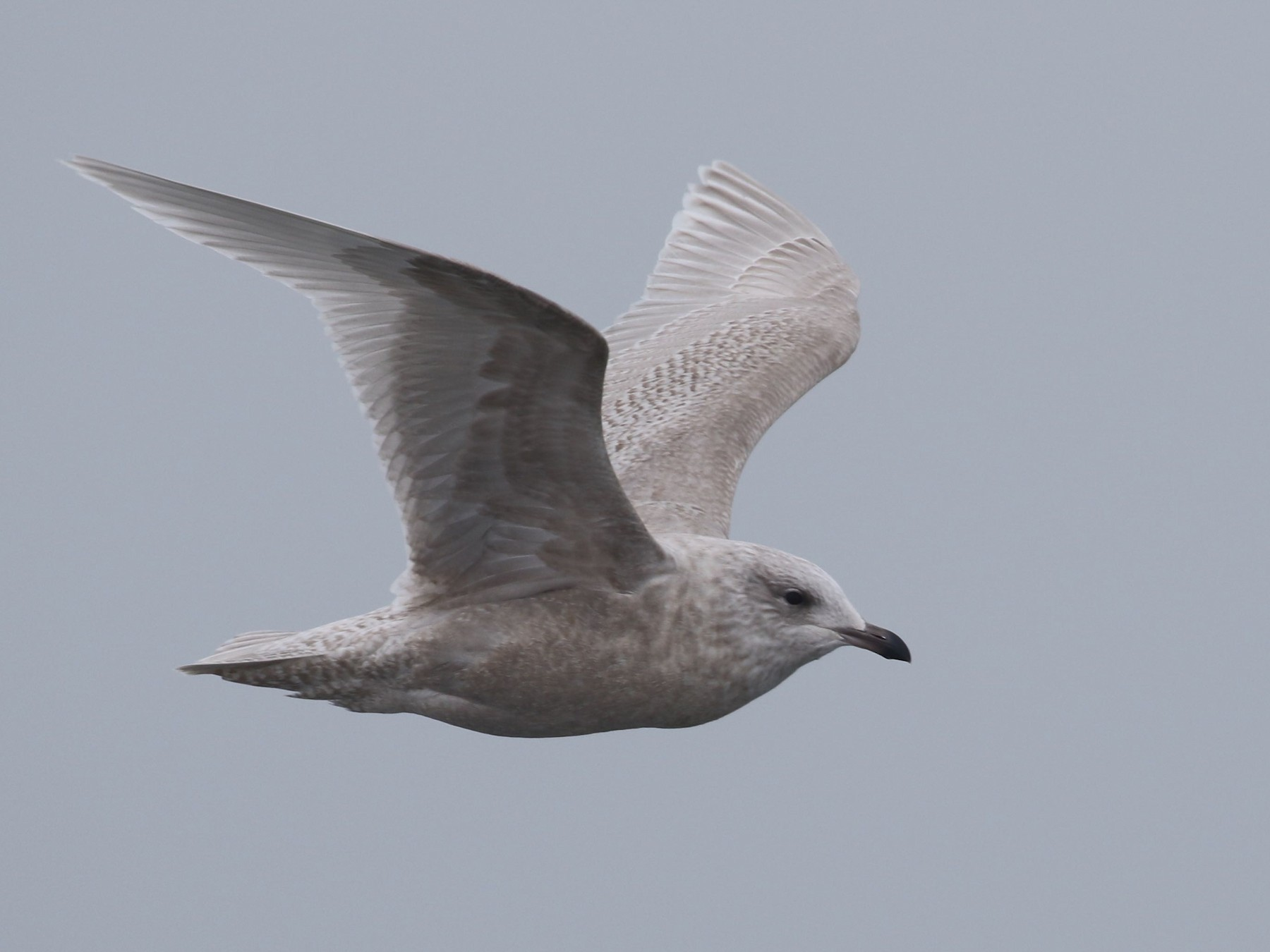 Iceland Gull - Alvan Buckley