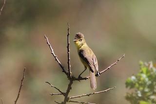 - African Yellow-Warbler