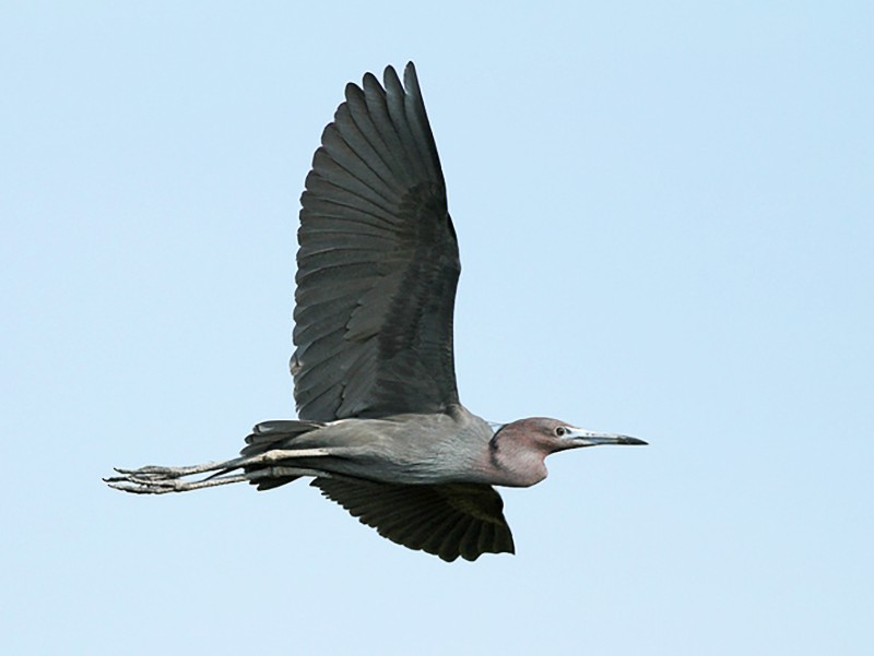 Little Blue Heron - Jeremiah Trimble