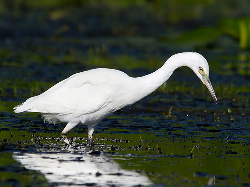 Little Blue Heron - David Trescak