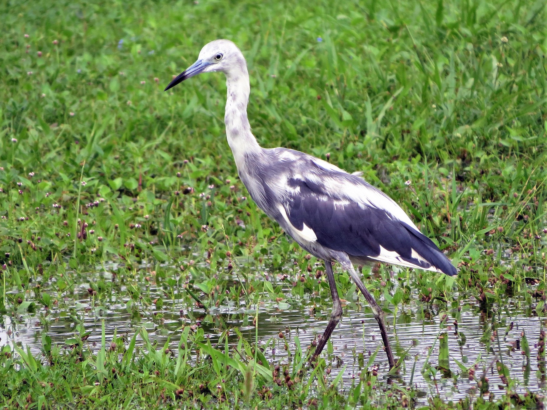 Little Blue Heron - Susan Young