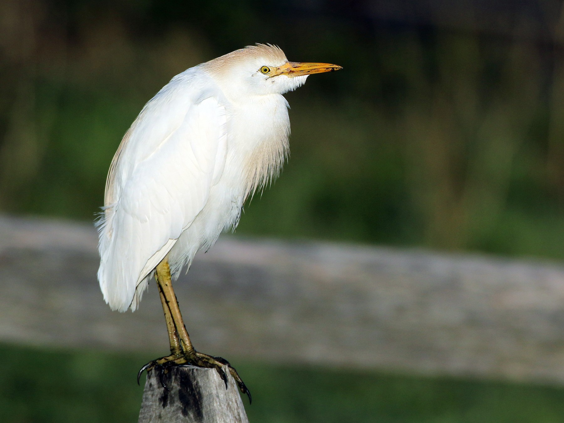 Cattle Egret - Luke Seitz
