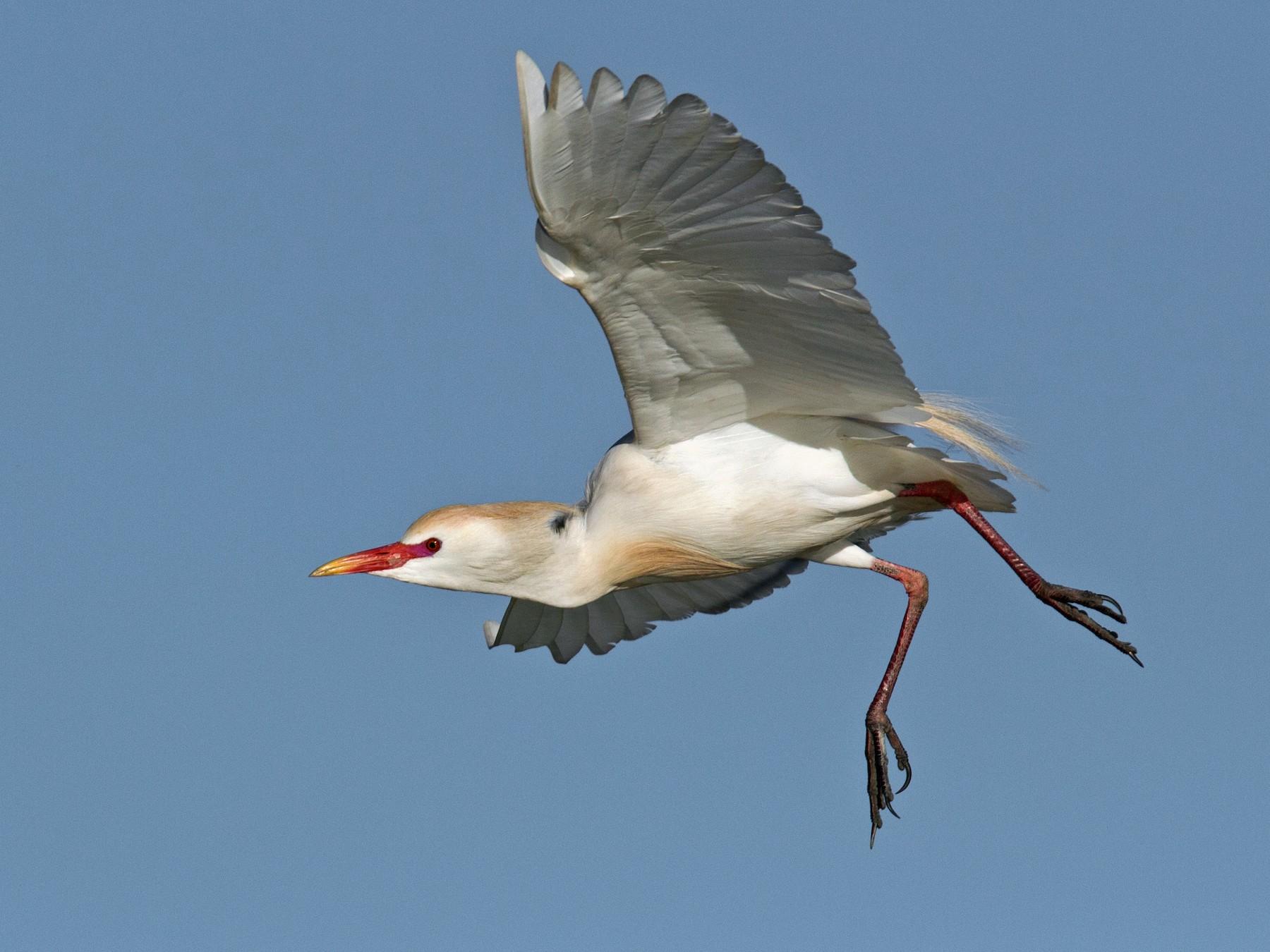 Cattle Egret - Ian Davies