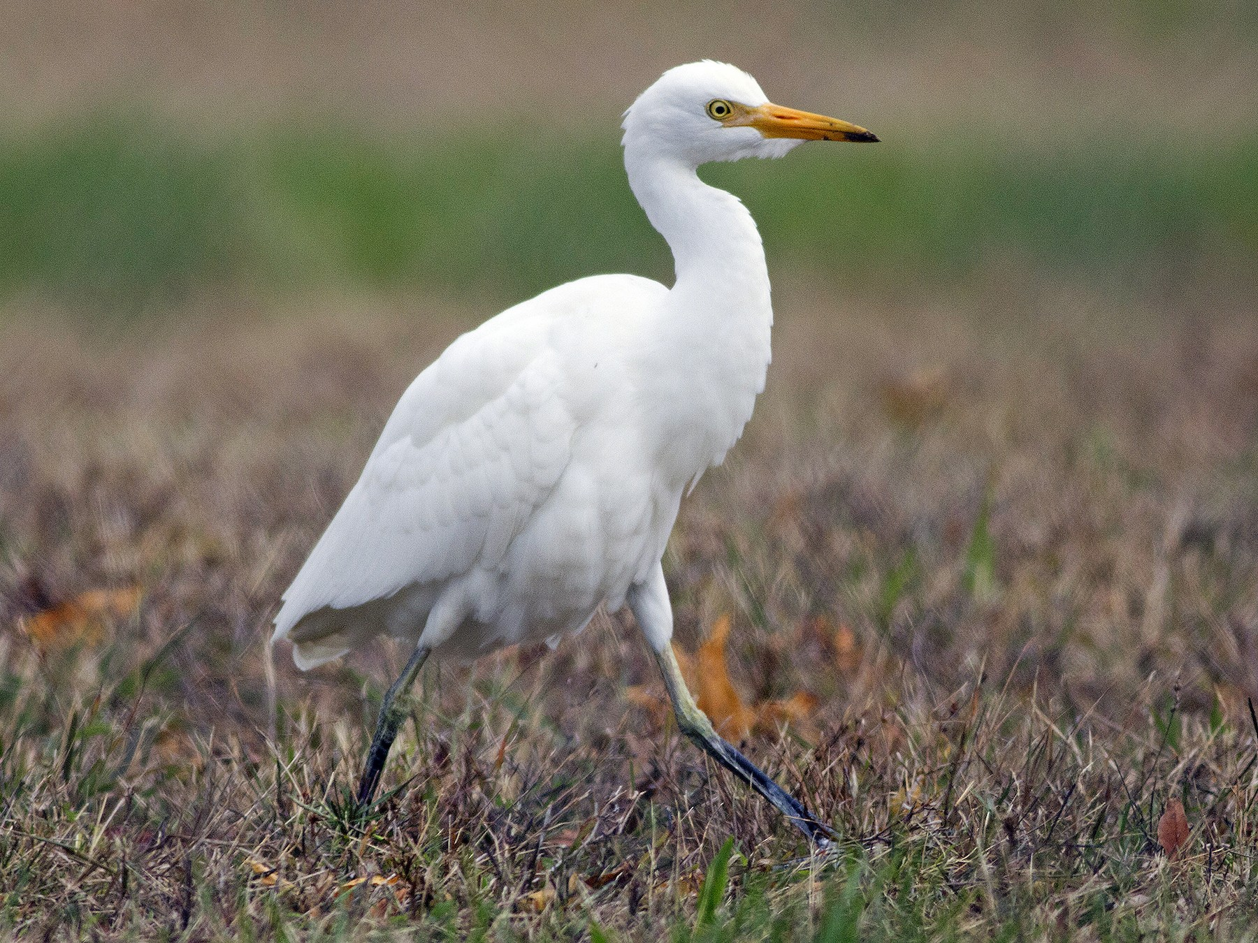 Cattle Egret - Samuel Paul Galick