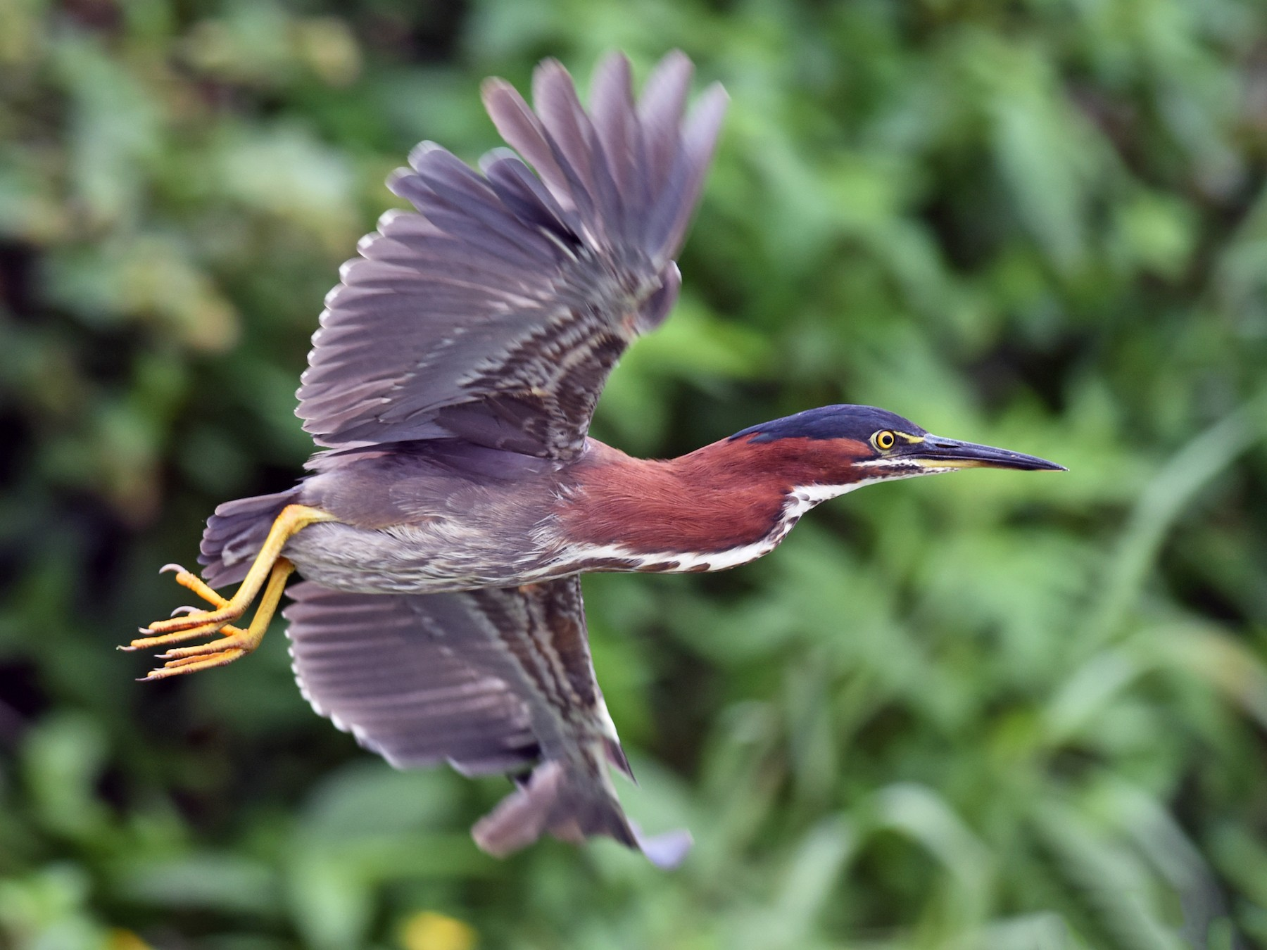 Green Heron - Sean Sime