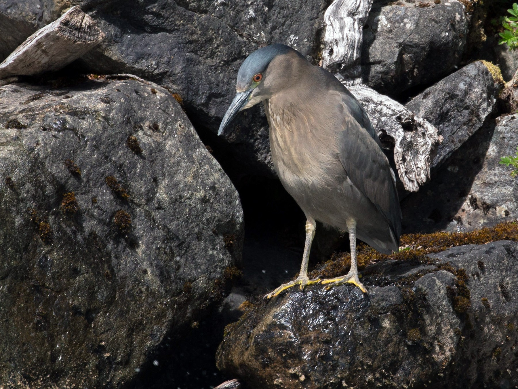 Black-crowned Night-Heron - Santiago Imberti