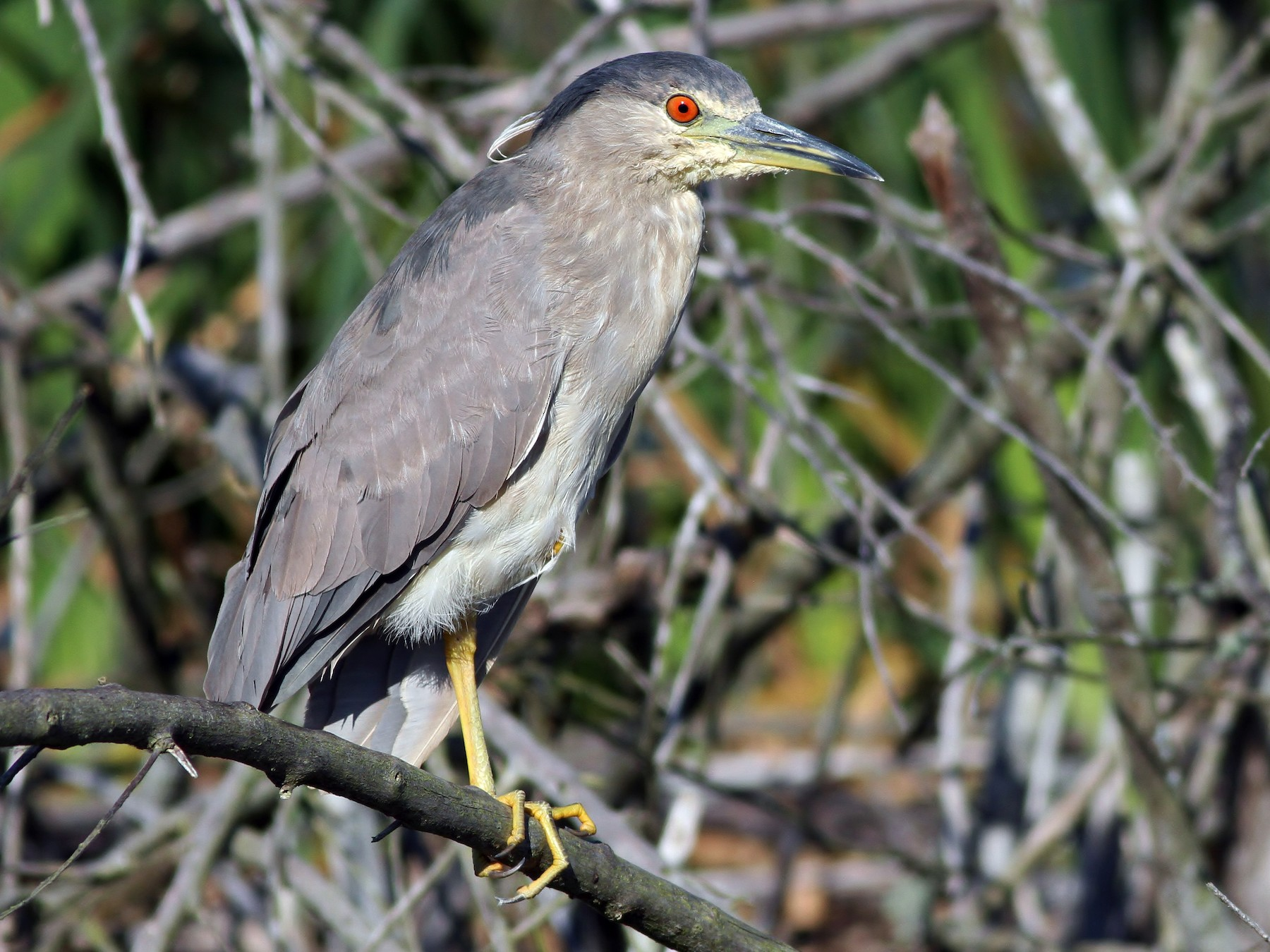 Black-crowned Night-Heron - Alex Lamoreaux